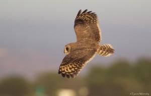 Marsh Owl hunting