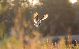 Marsh Owl hunting in the afternoon sun