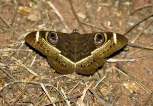 Owlett Moth
