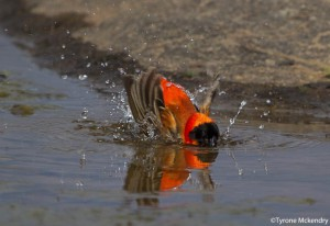 Red Bishop bathing (small)