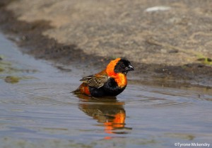 Red Bishop bathing 2 (small)