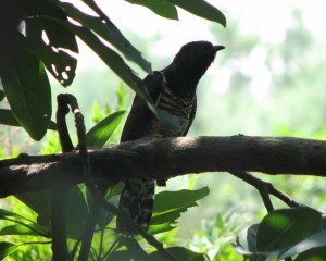 Red Chested Cuckoo 2