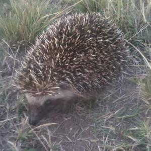SA-Hedgehog-Mnandi-Trix-van-Tonder