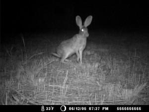 Scrub-Hare-2