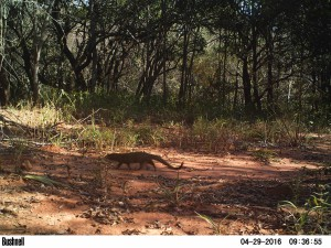 Slender-Mongoose-1