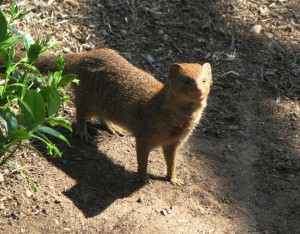 Slender-Mongoose-3