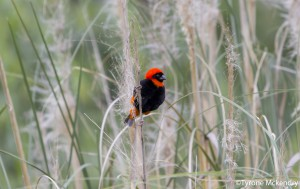 Southern Red Bishop (small)