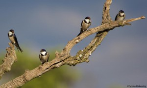 Swallows on a branch closer (small)