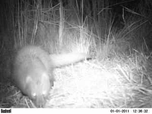 Water-Mongoose-2